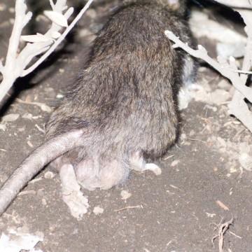 rats_05